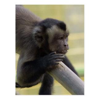 Postal copetuda del mono del capuchón