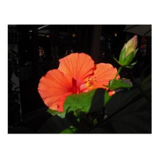 Postal coralina del hibisco