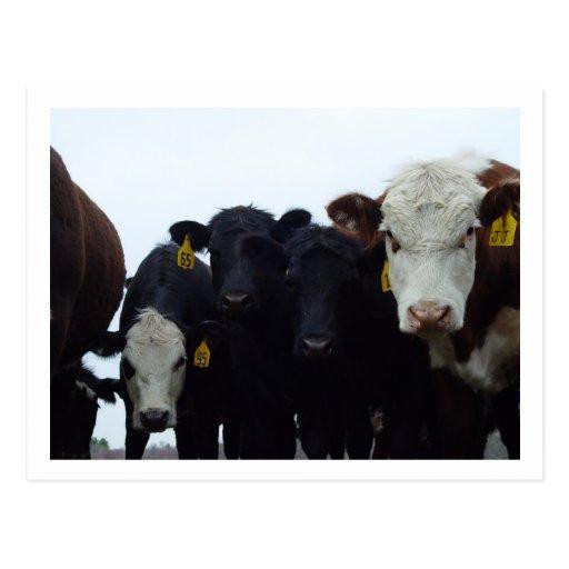 Postal curiosa de las vacas 9