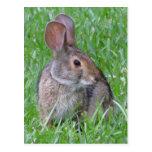 Postal curiosa del conejo de rabo blanco