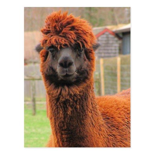 Postal curiosa del ~ de la alpaca