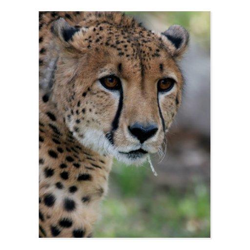 Postal curiosa del guepardo