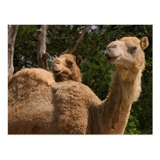 Postal de 2 camellos