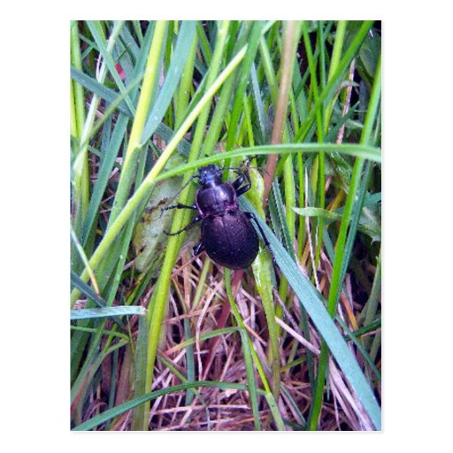 Postal de arrastre del escarabajo