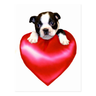 Postal de Boston Terrier del amor
