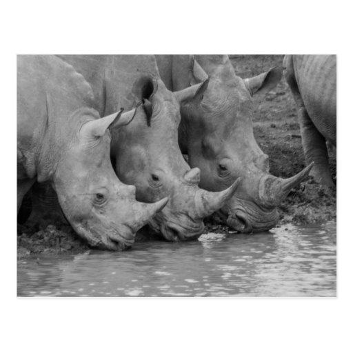 Postal de consumición de los Rhinos