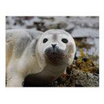 Postal de cría de foca