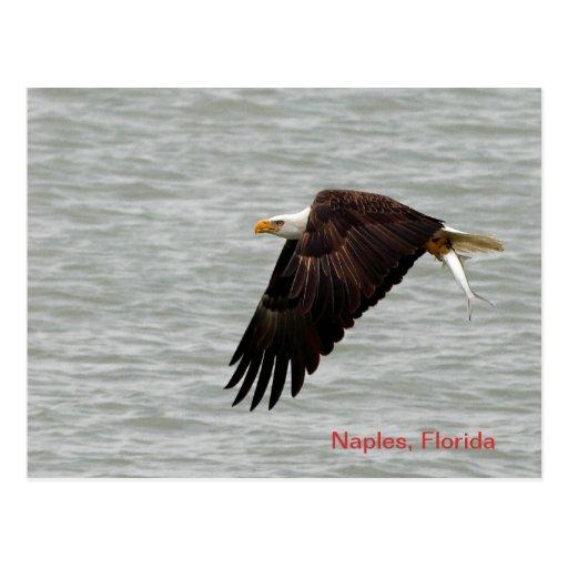 Postal de Eagle calvo
