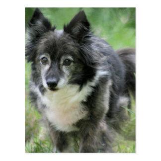 Postal de imagen del perro de Sheltie