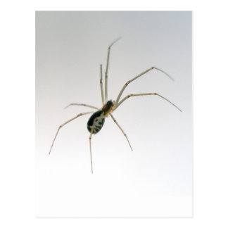 Postal de la araña del tejedor del orbe de Leucaug