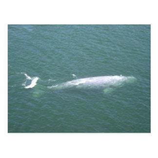 Postal de la ballena gris