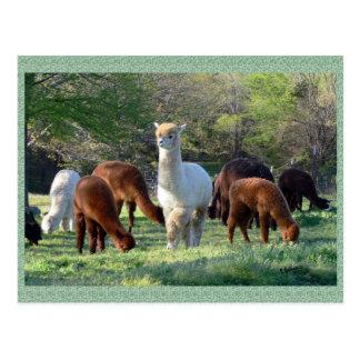 Postal de la belleza del trineo de la alpaca