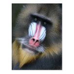 Postal de la cara del babuino