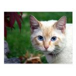 Postal de la cara del gato siamés