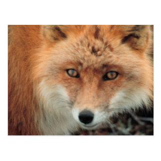Postal de la especie del Fox