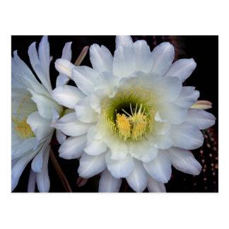 Postal de la flor 4355 del cactus