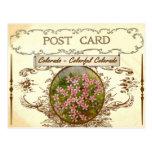 Postal de la flor de estado de Colorado del vintag