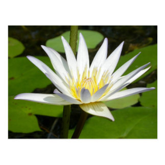 Postal de la flor de Lotus blanco