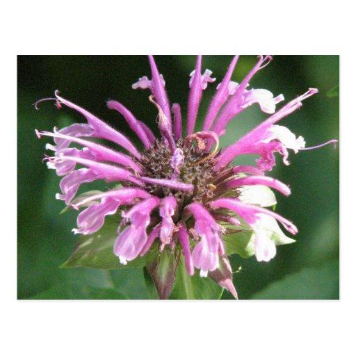 Postal de la flor del bálsamo de abeja
