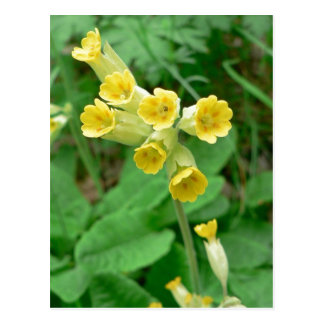 postal de la flor del cowslip