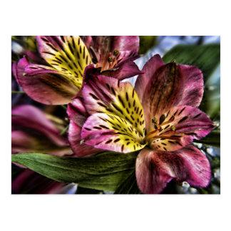 Postal de la flor del lirio peruano del Alstroemer