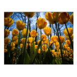 Postal de la flor del tulipán