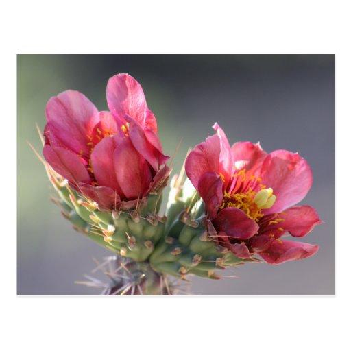 Postal de la floración de Cholla