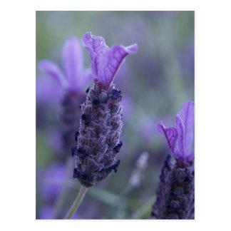 Postal de la foto de la flor de la lavanda