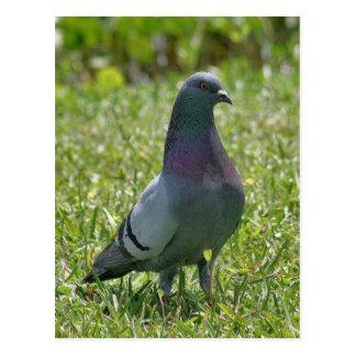 Postal de la foto de la paloma de roca