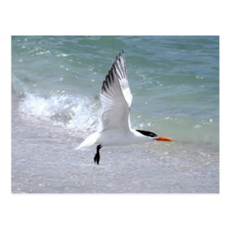 Postal de la golondrina de mar en vuelo