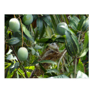 Postal de la iguana en árbol de mango
