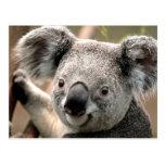 Postal de la koala