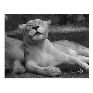 Postal de la leona (vida animal 3)