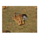 Postal de la lupulización del conejo