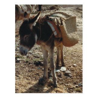 Postal de la mula de Marruecos