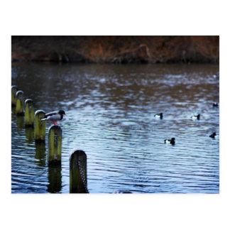Postal de la natación del pato