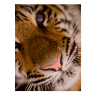 Postal de la opinión del primer del tigre