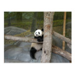 Postal de la panda gigante