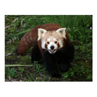 Postal de la panda roja