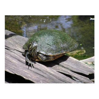 Postal de la tortuga acuática