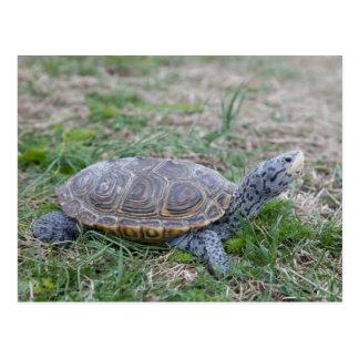 postal de la tortuga de la tortuga acuática de dia