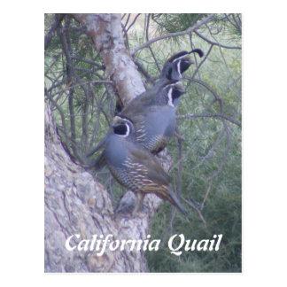 Postal de las codornices de California