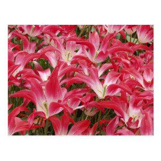 Postal de las fotos del tulipán
