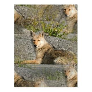 Postal de las imágenes del coyote
