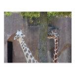 Postal de las jirafas
