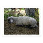 Postal de las ovejas