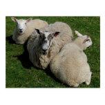 Postal de las ovejas - yo y mis bebés