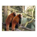 Postal de las pandas rojas