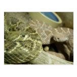 Postal de las serpientes de cascabel