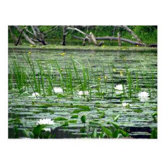 Postal de Lillies del agua